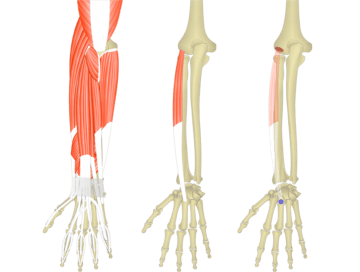 Featured image showing three images of the posterior forearm. The image on the left shows the bony elements and the muscles of the posterior forearm, the middle image shows the bony elements and isolated Extensor Carpi Radialis Brevis muscle, and the image on the right shows the attachments of the Extensor Carpi Radialis Brevis muscle connected by a transparent muscle itself.