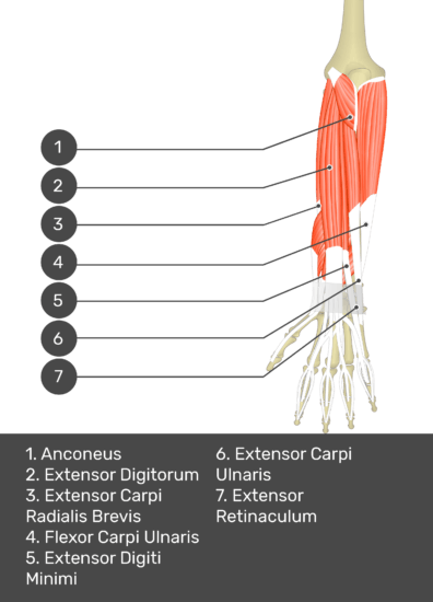 A test yourself image of the dorsal view of the forearm showing the bony elements and the deeper muscles. The visible muscles of the forearm are numbered 1-7. The answers in the box below are as follows 1. Anconeus 2. Extensor Digitorum 3. Extensor Carpi Radialis Brevis 4. Flexor Carpi Ulnaris 5. Extensor Digiti Minimi 6. Extensor Carpi Ulnaris 7. Extensor Retinaculum.
