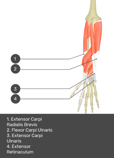 A test yourself image of the dorsal view of the forearm showing the bony elements and the deeper muscles. The visible muscles of the forearm are numbered 1-4. The answers in the box below are as follows 1. Extensor Carpi Radialis Brevis 2. Flexor Carpi Ulnaris 3. Extensor Carpi Ulnaris 4. Extensor Retinaculum.