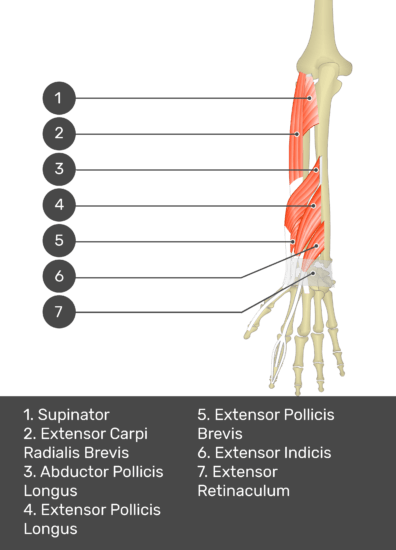 A test yourself image of the dorsal view of the forearm showing the bony elements and the deeper muscles. The visible muscles of the forearm are numbered 1-7. The answers in the box below are as follows 1. Supinator 2. Extensor Carpi Radialis Brevis 3. Abductor Pollicis Longus 4. Extensor Pollicis Longus 5. Extensor Pollicis Brevis 6. Extensor Indicis 7. Extensor Retinaculum.