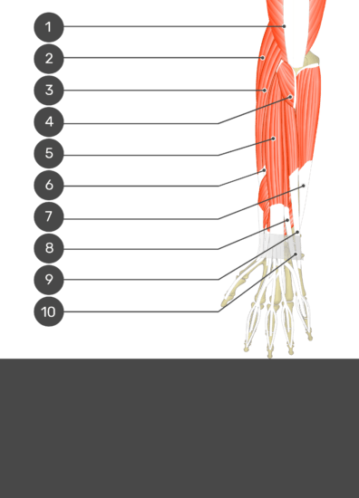 A test yourself image of the dorsal view of the forearm showing the bony elements and the deeper muscles. The visible muscles of the forearm are numbered 1-10 and the answers in the box below are concealed.