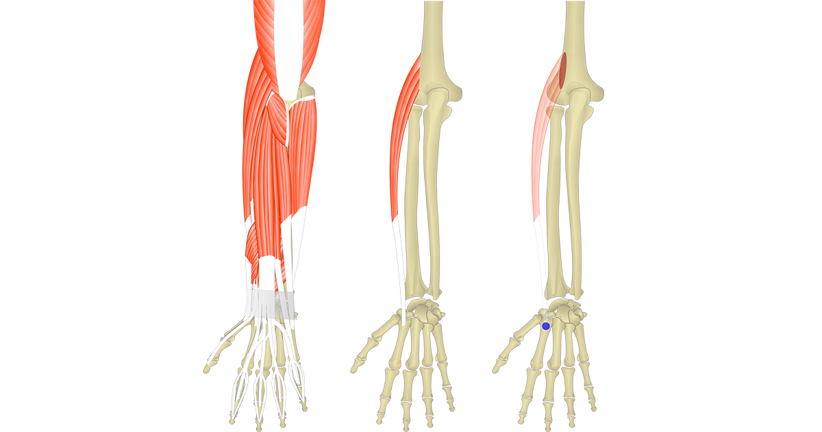 Featured image showing three images of the posterior forearm. The image on the left shows the bony elements and the muscles of the posterior forearm, the middle image shows the bony elements and isolated Extensor Carpi Radialis Longus muscle, and the image on the right shows the attachments of the Extensor Carpi Radialis Longus muscle connected by a transparent muscle itself.