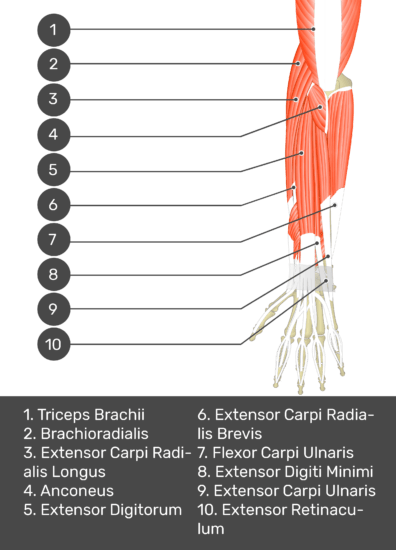 A test yourself image of the dorsal view of the forearm showing the bony elements and the deeper muscles. The visible muscles of the forearm are numbered 1-10. The answers in the box below are as follows 1. Triceps Brachii 2. Brachioradialis 3. Extensor Carpi Radialis Longus 4. Anconeus 5. Extensor Digitorum 6. Extensor Carpi Radialis Brevis 7. Flexor Carpi Ulnaris 8. Extensor Digiti Minimi 9. Extensor Carpi Ulnaris 10. Extensor Retinaculum.