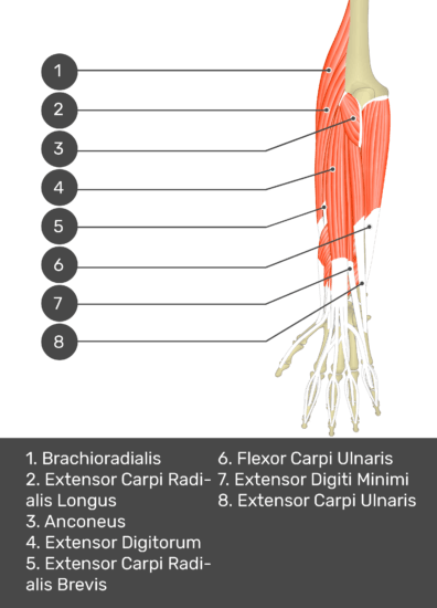 A test yourself image of the dorsal view of the forearm showing the bony elements and the deeper muscles. The visible muscles of the forearm are numbered 1-8. The answers in the box below are as follows 1. Brachioradialis 2. Extensor Carpi Radialis Longus 3. Anconeus 4. Extensor Digitorum 5. Extensor Carpi Radialis Brevis 6. Flexor Carpi Ulnaris 7. Extensor Digiti Minimi 8. Extensor Carpi Ulnaris.
