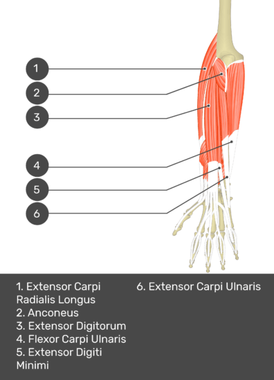A test yourself image of the dorsal view of the forearm showing the bony elements and the deeper muscles. The visible muscles of the forearm are numbered 1-6. The answers in the box below are as follows 1. Extensor Carpi Radialis Longus 2. Anconeus 3. Extensor Digitorum 4. Flexor Carpi Ulnaris 5. Extensor Digiti Minimi 6. Extensor Carpi Ulnaris.