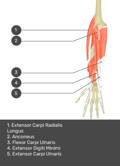 A test yourself image of the dorsal view of the forearm showing the bony elements and the deeper muscles. The visible muscles of the forearm are numbered 1-5. The answers in the box below are as follows 1. Extensor Carpi Radialis Longus 2. Anconeus 3. Flexor Carpi Ulnaris 4. Extensor Digiti Minimi 5. Extensor Carpi Ulnaris.
