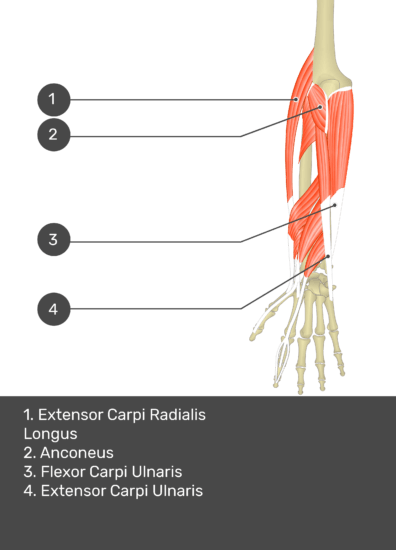 A test yourself image of the dorsal view of the forearm showing the bony elements and the deeper muscles. The visible muscles of the forearm are numbered 1-4. The answers in the box below are as follows 1. Extensor Carpi Radialis Longus 2. Anconeus 3. Flexor Carpi Ulnaris 4. Extensor Carpi Ulnaris.