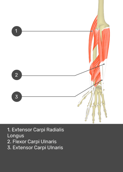 A test yourself image of the dorsal view of the forearm showing the bony elements and the deeper muscles. The visible muscles of the forearm are numbered 1-3. The answers in the box below are as follows 1. Extensor Carpi Radialis Longus 2. Flexor Carpi Ulnaris 3. Extensor Carpi Ulnaris.