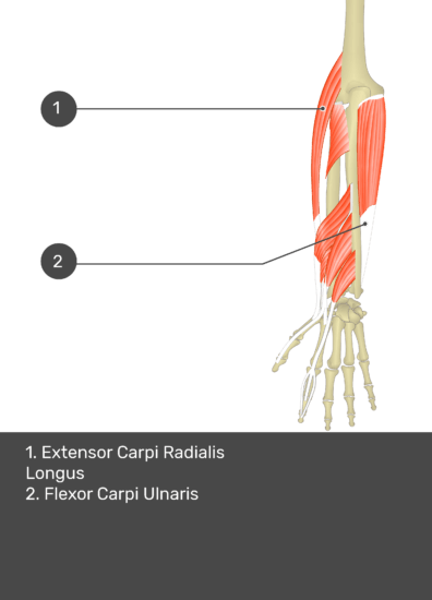 A test yourself image of the dorsal view of the forearm showing the bony elements and the deeper muscles. The visible muscles of the forearm are numbered 1-2. The answers in the box below are as follows 1. Extensor Carpi Radialis Longus 2. Flexor Carpi Ulnaris.