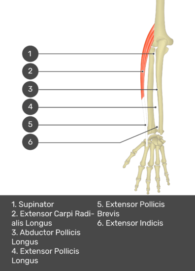 A test yourself image of the dorsal view of the forearm showing the bony elements and the deeper muscles. The visible muscles of the forearm are numbered 1-6. The answers in the box below are as follows 1. Supinator 2. Extensor Carpi Radialis Longus 3. Abductor Pollicis Longus 4. Extensor Pollicis Longus 5. Extensor Pollicis Brevis 6. Extensor Indicis.