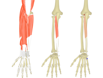 The featured image for extensor carpi ulnaris muscle. The view on the left shows the bony elements and the soft structures of the posterior forearm and the wrist, the middle image shows the isolated extensor carpi ulnaris muscles, the image on the right shows the its attachments connected by a transparent extensor carpi ulnaris muscle.