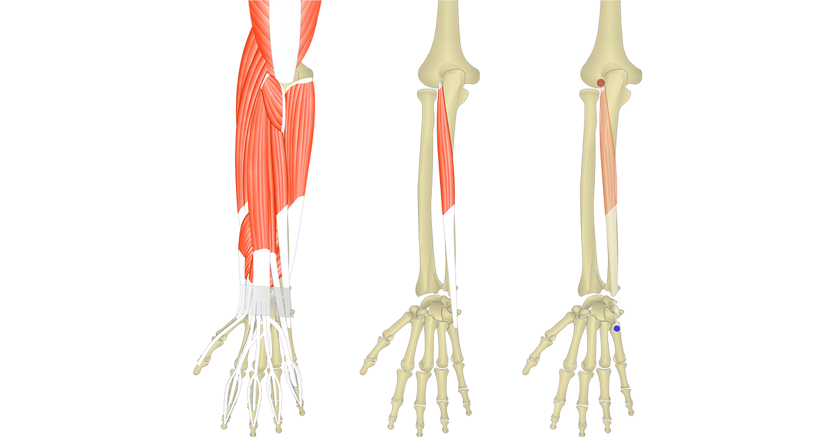 Extensor Carpi Ulnaris - Attachments, Action & Innervation