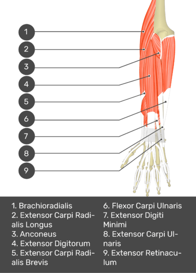 A test yourself image of the dorsal view of the forearm showing the bony elements and the deeper muscles. The visible muscles of the forearm are numbered 1-9. The answers in the box below are as follows 1. Brachioradialis 2. Extensor Carpi Radialis Longus 3. Anconeus 4. Extensor Digitorum 5. Extensor Carpi Radialis Brevis 6. Flexor Carpi Ulnaris 7. Extensor Digiti Minimi 8. Extensor Carpi Ulnaris 9. Extensor Retinaculum.