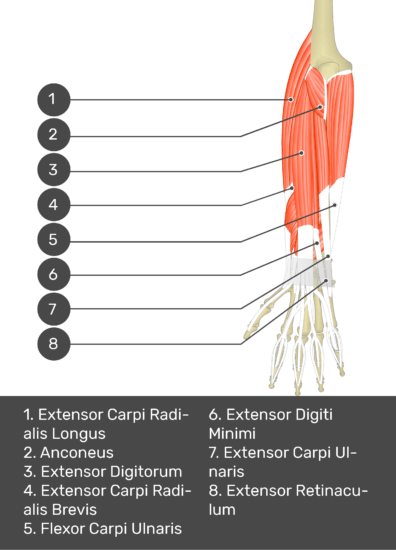 A test yourself image of the dorsal view of the forearm showing the bony elements and the deeper muscles. The visible muscles of the forearm are numbered 1-8. The answers in the box below are as follows 1. Extensor Carpi Radialis Longus 2. Anconeus 3. Extensor Digitorum 4. Extensor Carpi Radialis Brevis 5. Flexor Carpi Ulnaris 6. Extensor Digiti Minimi 7. Extensor Carpi Ulnaris 8. Extensor Retinaculum.