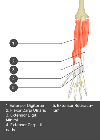 A test yourself image of the dorsal view of the forearm showing the bony elements and the deeper muscles. The visible muscles of the forearm are numbered 1-5. The answers in the box below are as follows 1. Extensor Digitorum 2. Flexor Carpi Ulnaris 3. Extensor Digiti Minimi 4. Extensor Carpi Ulnaris 5. Extensor Retinaculum.