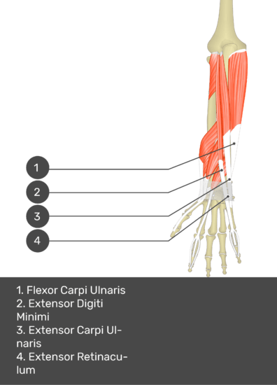 A test yourself image of the dorsal view of the forearm showing the bony elements and the deeper muscles. The visible muscles of the forearm are numbered 1-4. The answers in the box below are as follows 1. Flexor Carpi Ulnaris 2. Extensor Digiti Minimi 3. Extensor Carpi Ulnaris 4. Extensor Retinaculum.