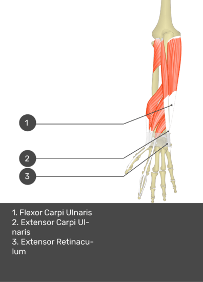 A test yourself image of the dorsal view of the forearm showing the bony elements and the deeper muscles. The visible muscles of the forearm are numbered 1-3. The answers in the box below are as follows 1. Flexor Carpi Ulnaris 2. Extensor Carpi Ulnaris 3. Extensor Retinaculum.
