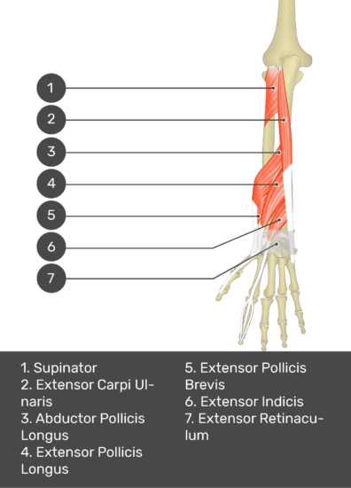 A test yourself image of the dorsal view of the forearm showing the bony elements and the deeper muscles. The visible muscles of the forearm are numbered 1-7. The answers in the box below are as follows 1. Supinator 2. Extensor Carpi Ulnaris 3. Abductor Pollicis Longus 4. Extensor Pollicis Longus 5. Extensor Pollicis Brevis 6. Extensor Indicis 7. Extensor Retinaculum.