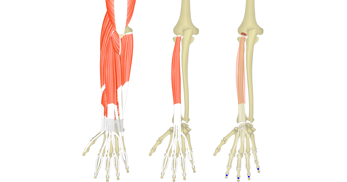 Featured image presenting three views of the extensor digitorum. The image on the left shows muscles of the posterior forearm and wrist, the middle image shows the isolated extensor digitorum muscle, whereas the image on the right shows its attachments.