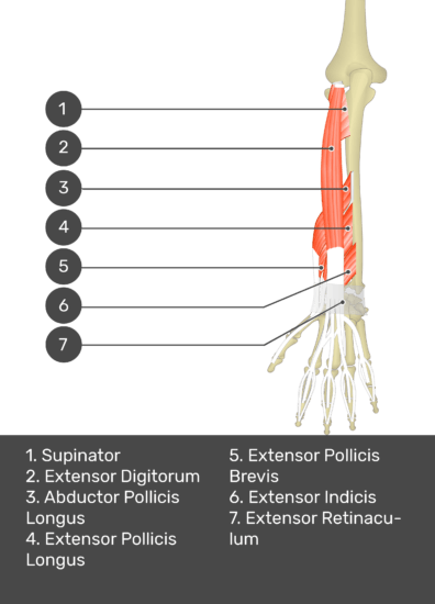 A test yourself image of the dorsal view of the forearm showing the bony elements and the deeper muscles. The visible muscles of the forearm are numbered 1-7. The answers in the box below are as follows 1. Supinator 2. Extensor Digitorum 3. Abductor Pollicis Longus 4. Extensor Pollicis Longus 5. Extensor Pollicis Brevis 6. Extensor Indicis 7. Extensor Retinaculum.