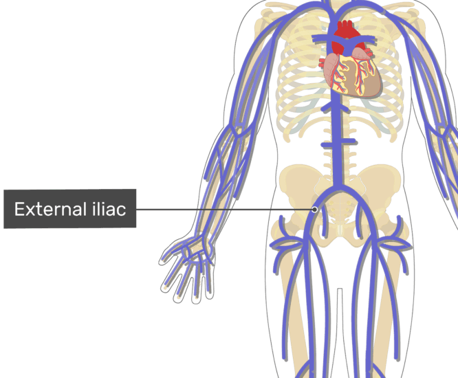 Labelled image of the external iliac vein.