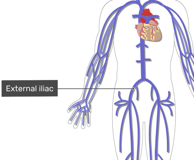 Labelled image of the external iliac vein with the skeleton off.