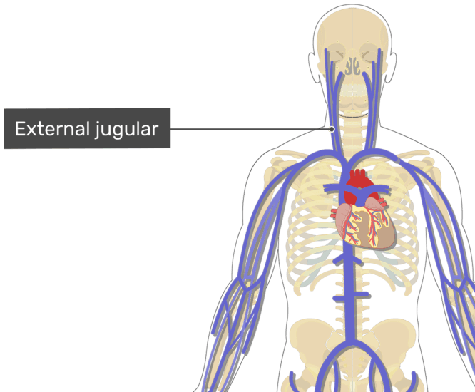 Labelled image of the external jugular vein.