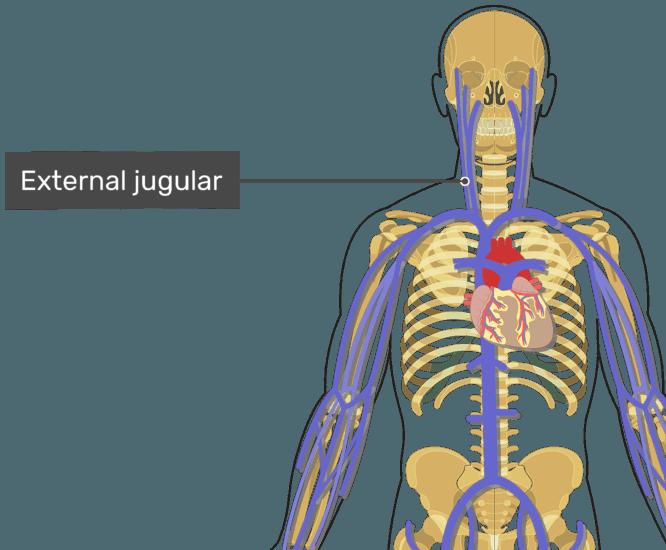 Labelled image of the external jugular vein.
