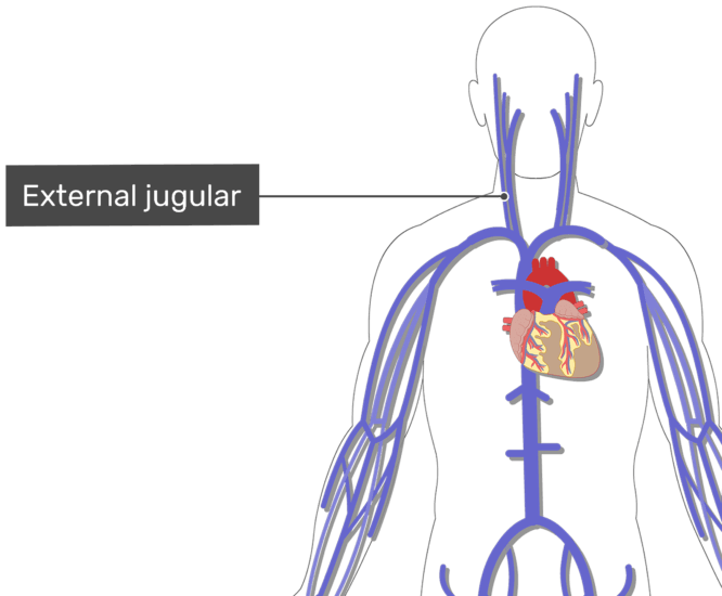 Labelled image of the external jugular vein with the skeleton off.