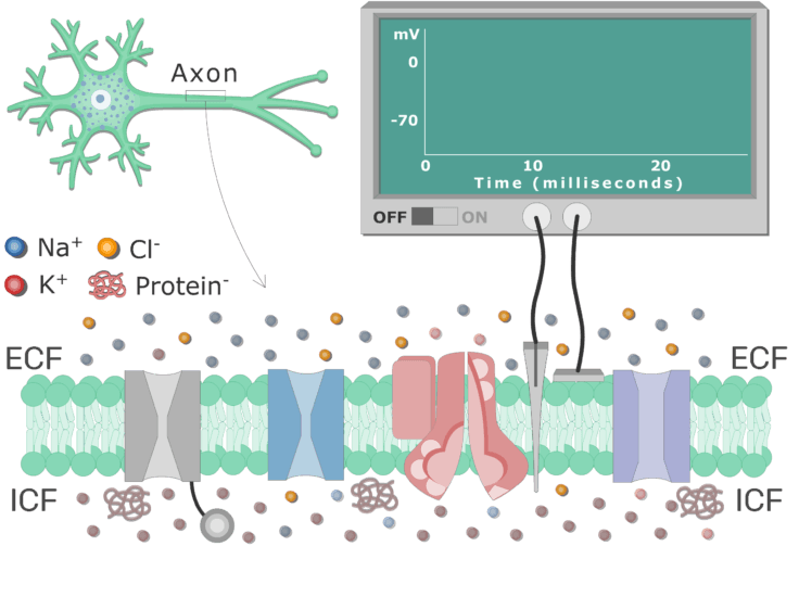 An image showing different types of channels in the (neuron) cell membrane (between ICF and ECF)