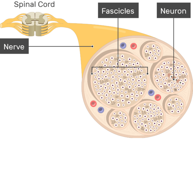 An image showing the nerve basic anatomical structures of the Fascicles, nerve, the Neuron and nerve are labeled