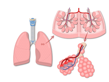 A zoom-in of the secondary lobule and alveolar duct