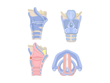 The featured image for the Arytenoid, Corniculate, & Cuneiform Cartilages tutorial demonstrating four views of the larynx.