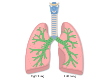 Anterior view of lungs with bronchus hightlighted