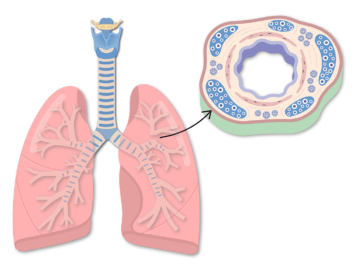 The featured image for the bronchial wall tutorial demonstrating the anterior lung and a cross section of the bronchial wall