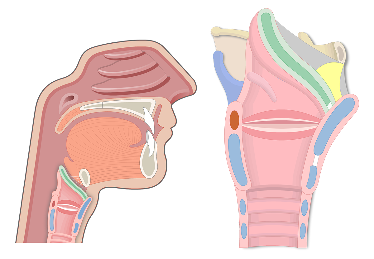 Sagittal views of the epiglottis as the featured image