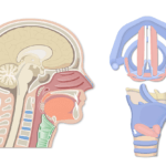 A sagittal vier and superior view of the larynx.