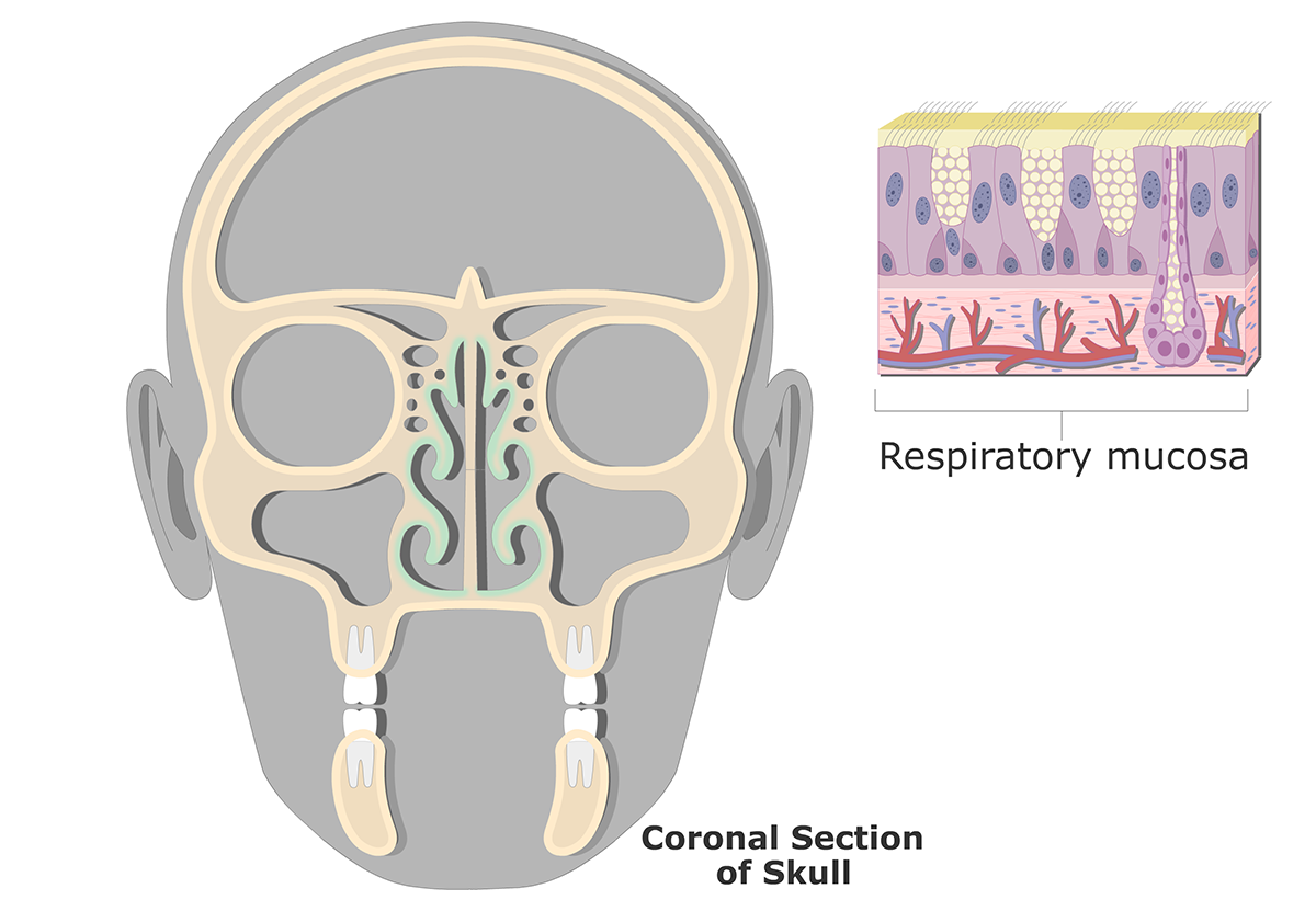 The respiratory mucosa highlighted and a zoom in view of the mucosa
