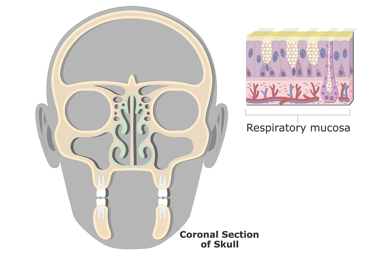 Respiratory Mucosa (Nasal Mucosa) | Gross & Microscopic Anatomy