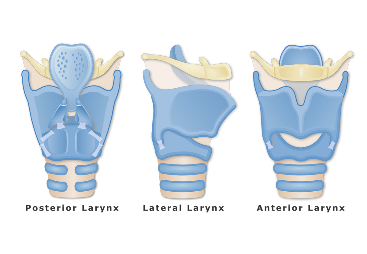 The cartilages of the larynx are shown in anterior, lateral and posterior view