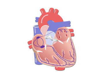 Featured image of the electrical conduction system of the heart.