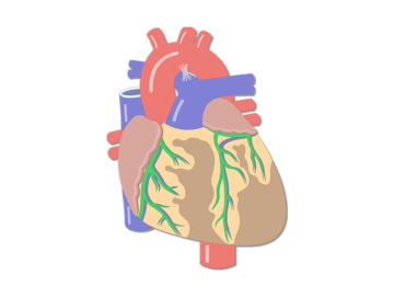 Heart anatomy ccuart