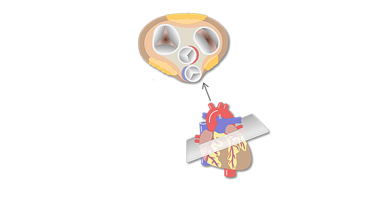 Featured image of the valves of the heart