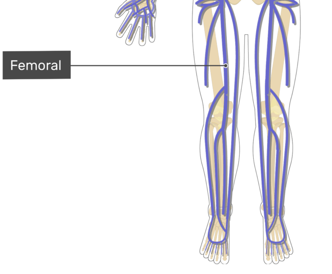 Labelled image of the femoral vein.