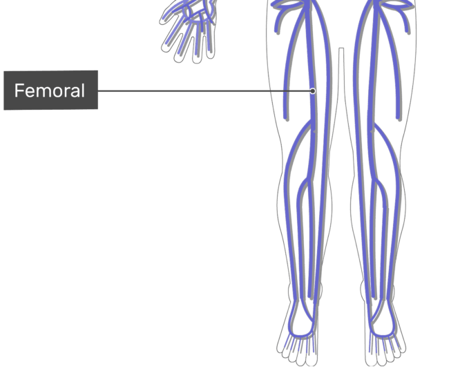 Labelled image of the femoral vein with the skeleton off.