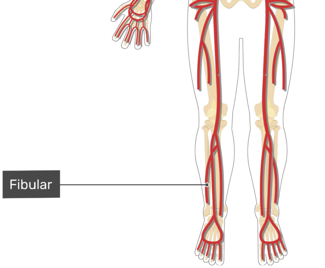 Labelled image of the ulnar artery of the leg.