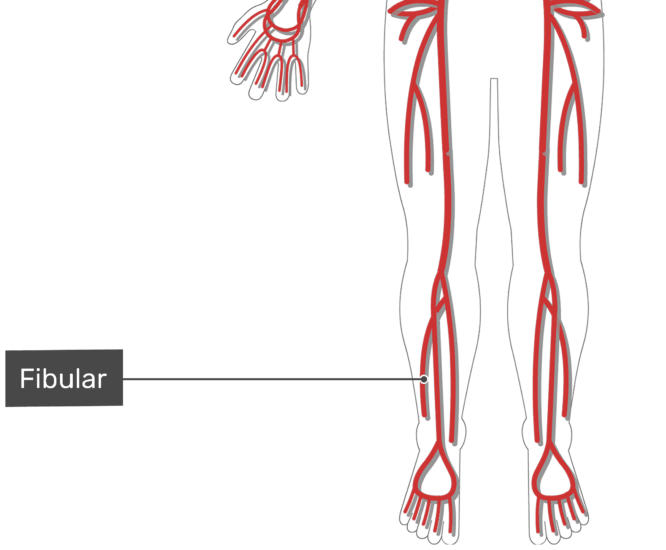 Labelled image of the ulnar artery of the leg with the skeleton hidden.