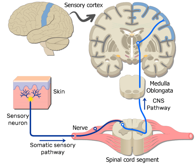 Sample somatic nervous system pathways an image showing the action potential moving through the first sensory neuron of the somatic nervous ccuart Image collections