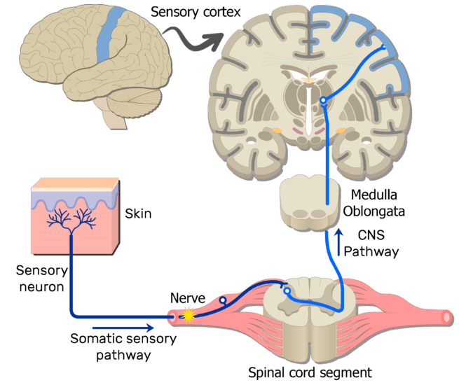 An image showing the action potential moving through the first sensory neuron of the somatic nervous system