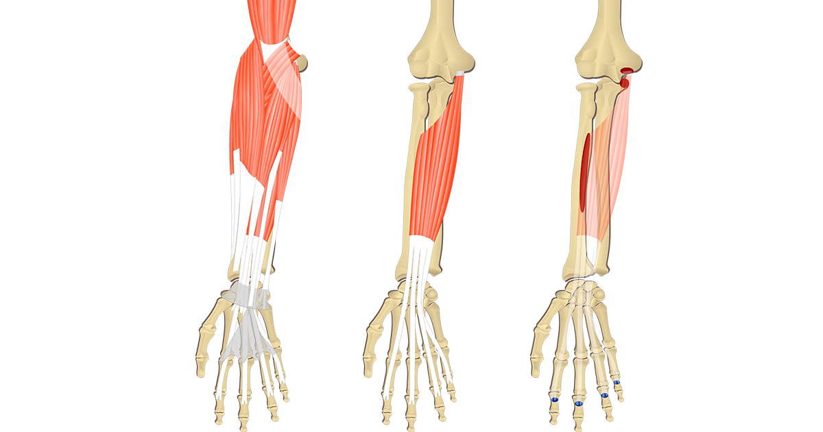 Muscles that act on the Wrist & Hand